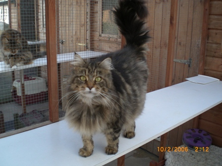 Applause Pedigree Cats and Kittens: British, Maine Coons and Ragdolls